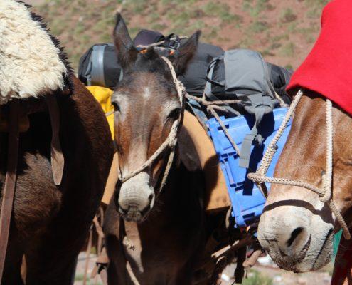 Aconcagua Zustieg Mulis