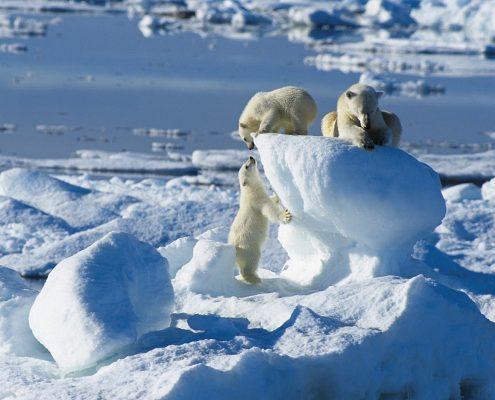kleien Eisbären